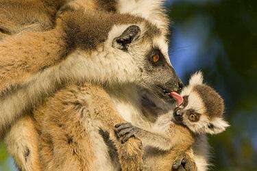 Ring-tailed Lemur (Lemur catta) female grooming another female's offspring, Berenty Private Reserve, Madagascar  -  Suzi Eszterhas