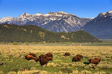 American Bison (Bison bison) herd near Mormon Row, Grand Teton National Park, Wyoming  -  Duncan Usher