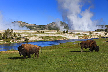 American Bison (Bison bison) pair grazing beside Firehole River, Midway Geyser Basin, Yellowstone National Park, Wyoming  -  Duncan Usher