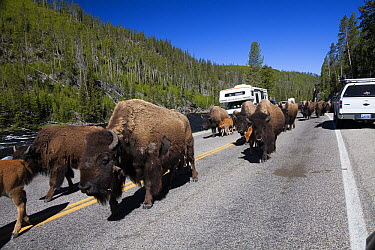 American Bison (Bison bison) herd on road near Firehole River, Yellowstone National Park, Wyoming  -  Duncan Usher