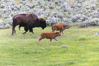 American Bison (Bison bison) cow with two calves running, Lamar Valley, Yellowstone National Park, Wyoming  -  Duncan Usher