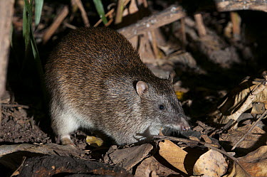 Northern Brown Bandicoot (Isoodon macrourus) at night, Queensland, Australia  -  Roland Seitre