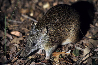 Southern Brown Bandicoot (Isoodon obesulus) at night, Australia  -  Roland Seitre