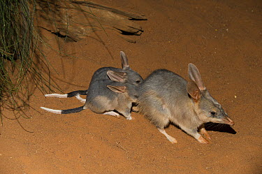 Bilby (Macrotis lagotis) mother and joeys, Adelaide Zoo, Adelaide, South Australia, Australia  -  Roland Seitre