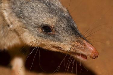 Bilby (Macrotis lagotis), Adelaide Zoo, Adelaide, South Australia, Australia  -  Roland Seitre