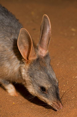 Bilby (Macrotis lagotis) smelling ground, Adelaide Zoo, Adelaide, South Australia, Australia  -  Roland Seitre