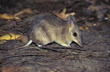 Barred Bandicoot (Perameles bougainville), Australia  -  Roland Seitre