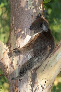 Koala (Phascolarctos cinereus) resting in tree, Yanchep National Park, Western Australia, Australia  -  Roland Seitre