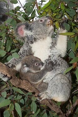 Koala (Phascolarctos cinereus) mother and joey feeding in tree, Australian Reptile Park, New South Wales, Australia  -  Roland Seitre