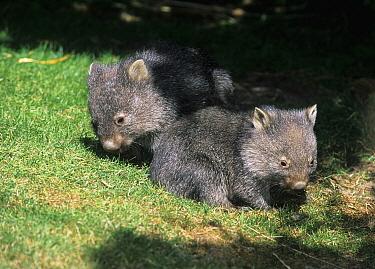 Common Wombat (Vombatus ursinus) six months old orphan joeys, Tasmania, Australia  -  Roland Seitre