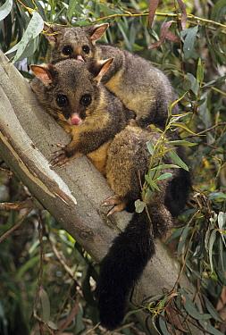 Common Brush-tailed Possum (Trichosurus vulpecula) mother and joey in tree, Australia  -  Roland Seitre