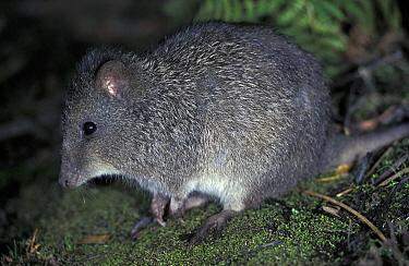 Long-nosed Potoroo (Potorous tridactylus), Australia  -  Roland Seitre