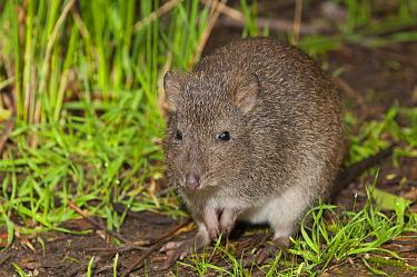 Long-nosed Potoroo (Potorous tridactylus), Cleland Wildlife Park, Adelaide, South Australia, Australia  -  Roland Seitre