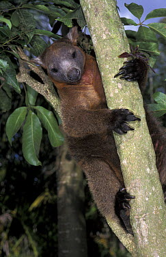 Bennett's Tree-kangaroo (Dendrolagus bennettianus) in tree, Australia  -  Roland Seitre