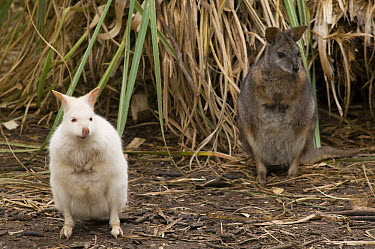 Tammar Wallaby (Macropus eugenii) albino and normal morph, Adelaide, South Australia, Australia  -  Roland Seitre