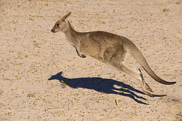 Eastern Grey Kangaroo (Macropus giganteus) hopping, New South Wales, Australia  -  Roland Seitre