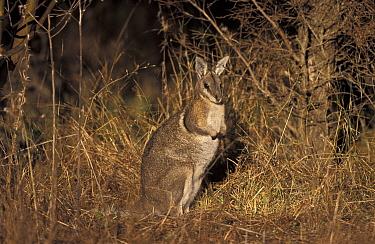 Bridled Nail-tailed Wallaby (Onychogalea fraenata), Australia  -  Roland Seitre