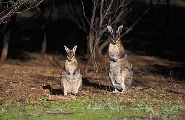 Bridled Nail-tailed Wallaby (Onychogalea fraenata) mother and joey, Australia  -  Roland Seitre