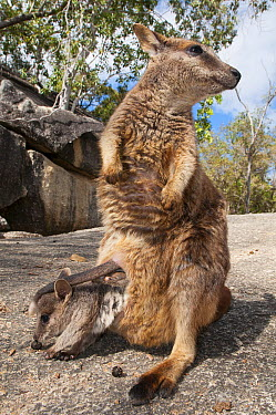 Mareeba Rock-wallaby (Petrogale mareeba) mother with joey emerging pouch, Granite Gorge Nature Park, Mareeba, Queensland, Australia  -  Roland Seitre