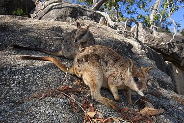 Mareeba Rock-wallaby (Petrogale mareeba) pair on rocks, Granite Gorge Nature Park, Mareeba, Queensland, Australia  -  Roland Seitre
