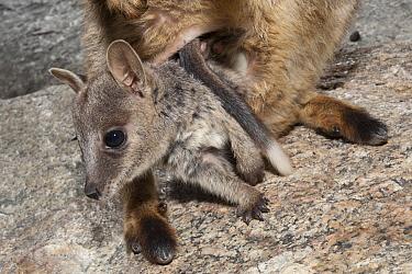 Mareeba Rock-wallaby (Petrogale mareeba) joey emerging mother's pouch, Granite Gorge Nature Park, Mareeba, Queensland, Australia  -  Roland Seitre