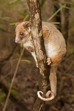 Common Ringtail Possum (Pseudocheirus peregrinus)in tree, Australian Reptile Park, New South Wales, Australia  -  Roland Seitre