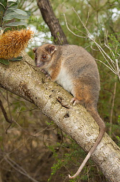 Common Ringtail Possum (Pseudocheirus peregrinus) in tree, Australian Reptile Park, New South Wales, Australia  -  Roland Seitre