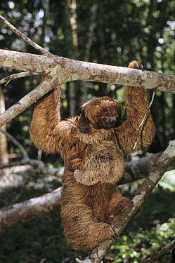 Maned Sloth (Bradypus torquatus) mother and young in tree, Brazil  -  Roland Seitre