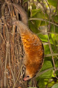 Pygmy Anteater (Cyclopes didactylus) climbing down tree, Lima, Peru  -  Roland Seitre