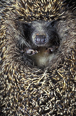Brown-breasted Hedgehog (Erinaceus europaeus) in defensive posture, Russia  -  Roland Seitre