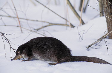 Desman (Desmana moschata) in snow, Russia  -  Roland Seitre