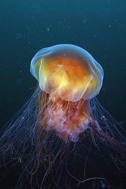 Lion's Mane (Cyanea capillata) jellyfish, Prince William Sound, Alaska  -  Hiroya Minakuchi