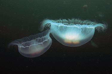 Moon Jelly (Aurelia aurita) pair, Prince William Sound, Alaska  -  Hiroya Minakuchi
