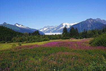 Fireweed (Chamerion angustifolium) flowering in meadow, Mendenhall Glacier, Juneau, Alaska  -  Hiroya Minakuchi