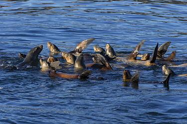 California Sea Lion (Zalophus californianus) raft warming flippers in the sun, Monterey Bay, California  -  Suzi Eszterhas
