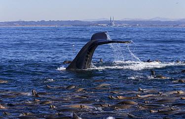 Humpback Whale (Megaptera novaeangliae) and California Sea Lion (Zalophus californianus) raft foraging, Monterey Bay, California  -  Suzi Eszterhas