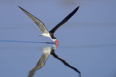 African Skimmer (Rynchops flavirostris) skimming, Chobe River National Park, Botswana  -  Winfried Wisniewski