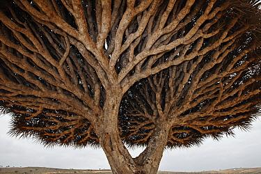 Dragon-blood Tree (Dracaena cinnabari) crown, Socotra, Yemen  -  Mark Moffett