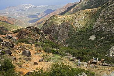 Dromedary (Camelus dromedarius) being led through mountains, Wadi Daneghan, Haggier Mountains, Socotra, Yemen  -  Mark Moffett
