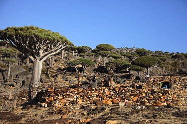 Dragon-blood Tree (Dracaena cinnabari) forest and bedouin hut, Firmihin, Socotra, Yemen  -  Mark Moffett