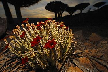 Caralluma (Caralluma socotrana) flowers below Dragon-blood Trees (Dracaena cinnabari), Firmihin, Socotra, Yemen  -  Mark Moffett