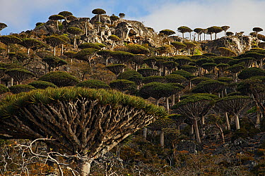 Dragon-blood Tree (Dracaena cinnabari) forest, Socotra, Yemen  -  Mark Moffett