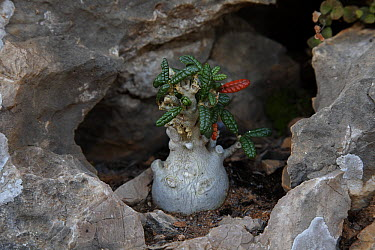 Socotran Fig (Dorstenia gigas) sapling, Qalansiyah, Socotra, Yemen  -  Mark Moffett