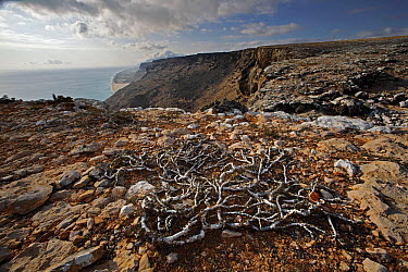 Croton (Croton sp) tree stunted by strong winds on cliff top, Socotra, Yemen  -  Mark Moffett