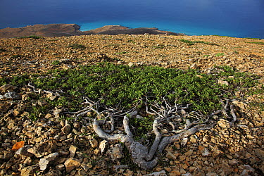 Gnidia (Gnidia socotrana) tree stunted by strong winds, Hadibu, Socotra, Yemen  -  Mark Moffett