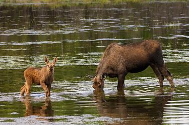 Alaskan Moose (Alces alces gigas) feeding mother and calf in water, Alaska  -  Michael Quinton