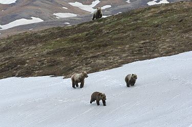 Grizzly Bear (Ursus arctos horribilis) male running after female and yearling cubs, possibly to kill cubs, Alaska  -  Michael Quinton