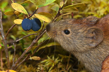 Northern Red-backed Vole (Clethrionomys rutilus) feeding on bluberries in bog, Alaska  -  Michael Quinton