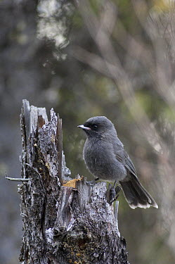 Canada Jay (Perisoreus canadensis) juvenile, Alaska  -  Michael Quinton