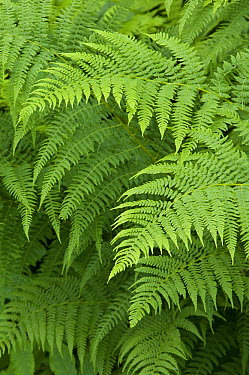 Broad Buckler-fern (Dryopteris dilatata) fronds, Alaska  -  Michael Quinton